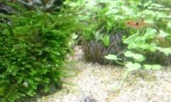 園芸用の液肥「リキダス」投入したら水草の調子上がってきた
