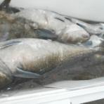 釣り船こうゆう丸の釣り情報