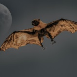 『世界一大きいコウモリが想像以上にでかい』の画像
