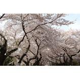 『桜咲く。いや、本当の。』の画像