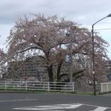 『我が家の桜09-9』の画像