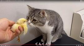 【YouTube】ギネス認定の猫ユーチューバー、預かったヒヨコを猫に近づける動画で批判相次ぐ…「危なすぎる」謝罪後も苦言集まる