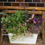 『アガスターシェとキューフォリックの木製プランターで作った寄せ植え』の画像