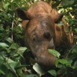 『マレーシアでスマトラサイの絶滅宣言』の画像