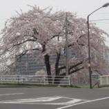 『わが家の桜08-14』の画像