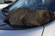 ネコが車のボンネットに激しくめり込んだ画像wwwww