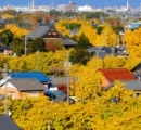 落ちたギンナン、大阪や川崎は苦情を言い、東京都民は風物詩として楽しむ