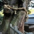 大湫神明神社の大杉が倒れてしまった