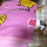 【画像】俺の家の猫を自慢する