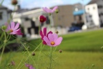 郡津のフラワーロードに『秋』、到来!~コスモスが可愛く咲いてる~