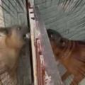 2匹のイヌが柵を挟んでケンカしていた。かかってこいやぁ! やったるぞぉ! → こうなる…