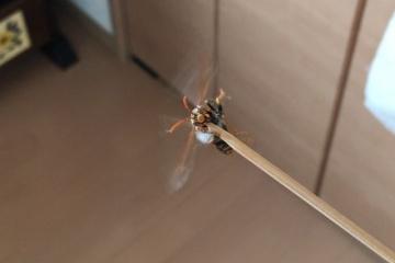 【画像】部屋に蜂が入ってきたから竹串で突いてみたらメッチャ怒っててワロタwww