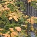 我が家のジューンベリーの紅葉です🍂