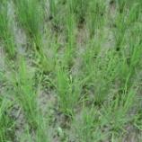 『田植え後2ヶ月経過、稲穂が出始めました』の画像