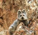 【絶滅危惧種】ピカチュウのモデルといわれている「魔法のウサギ」をご覧ください
