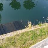 【緊急】川にサメおった