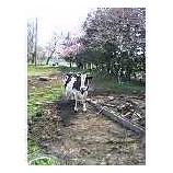 『牛と桜その2』の画像