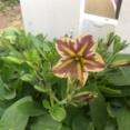 *ペチュニア「とらネコ」花が咲いたよ!|桃色タンポポ
