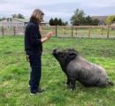 犬のようにお座りする賢い豚が話題