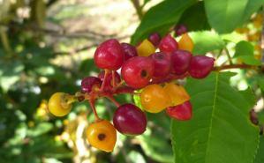 「ひときわ目につく」赤い果実