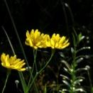 10月23日 東山植物園 シラタマホシクサ・コウヤボウキ・コムラサキ etc