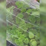 『《【ダイソー】虫の侵入を防ぐネットで野菜が大きく育つ》』の画像