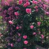 『【朝のご挨拶】今年5月には戸田駅南のBZ花壇周辺が薔薇の芳香に包まれます!』の画像