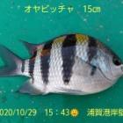 『笑転爺の釣日記 10月29日☀ 浦賀港岸壁』の画像