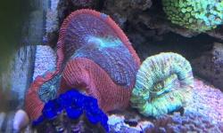 オオバナサンゴがめちゃくちゃ膨らんで調子いい通り越して破裂しそうなときあるんだ