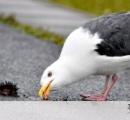 【賢い鳥】ウニ食べるグルメなウミネコ 上空から落として割る