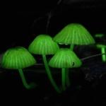 【画像】〈日本〉夜の森を彩る、不思議な「天国の光のキノコ」たち【風景】
