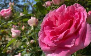 「最&高…じゃない!?」満開に咲くバラ