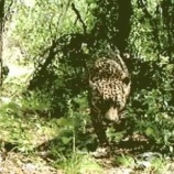 『生存:アメリカ合衆国最後のジャガーたち』の画像