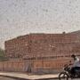 【悲報】インドに到達したバッタ巨大化