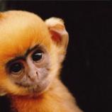 『白頭葉猴』の画像