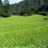 『稲の登熟期に気になる事』の画像