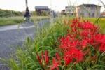 府道736号沿いの田んぼ道で、彼岸花が咲いてた!めっちゃ赤い~Photo by 広重さん~