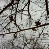『戸田市菖蒲川の桜のつぼみ ずいぶん膨らんでいます!』の画像