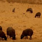 【動画】イラク、撤退するIS、油井に火を放ち焼き尽くす!白い羊も真っ黒に [海外]