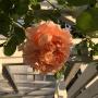 *急に寒くなりました~(((=_=)))バラたちは?