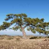 『松の木(ソナム)が韓国で愛されてきた理由 ー 松餅、松飲料から、K-popまで』の画像
