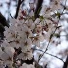 『桜、咲く』の画像