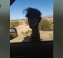 エミューが突然出現、捕り物騒ぎに・・・米アリゾナ州の高速道路