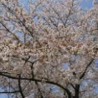 『桜咲く鉄道』の画像