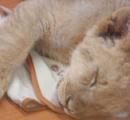 赤ちゃんライオン、寒さで死ぬ