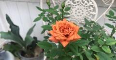 *バラの葉…それ本当に病気?!薬害や肥料焼けかも~(*`ロ´ノ)ノ