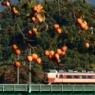 柿の色づく季節 Torisawa
