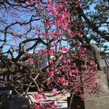『梅を観に行ってきました/蒲田梅屋敷公園→薭田神社→ユザワヤ』の画像