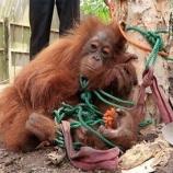『木に縛られた売り物オランウータン』の画像