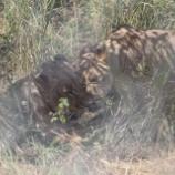 『ルワンダに再びライオンを導入』の画像